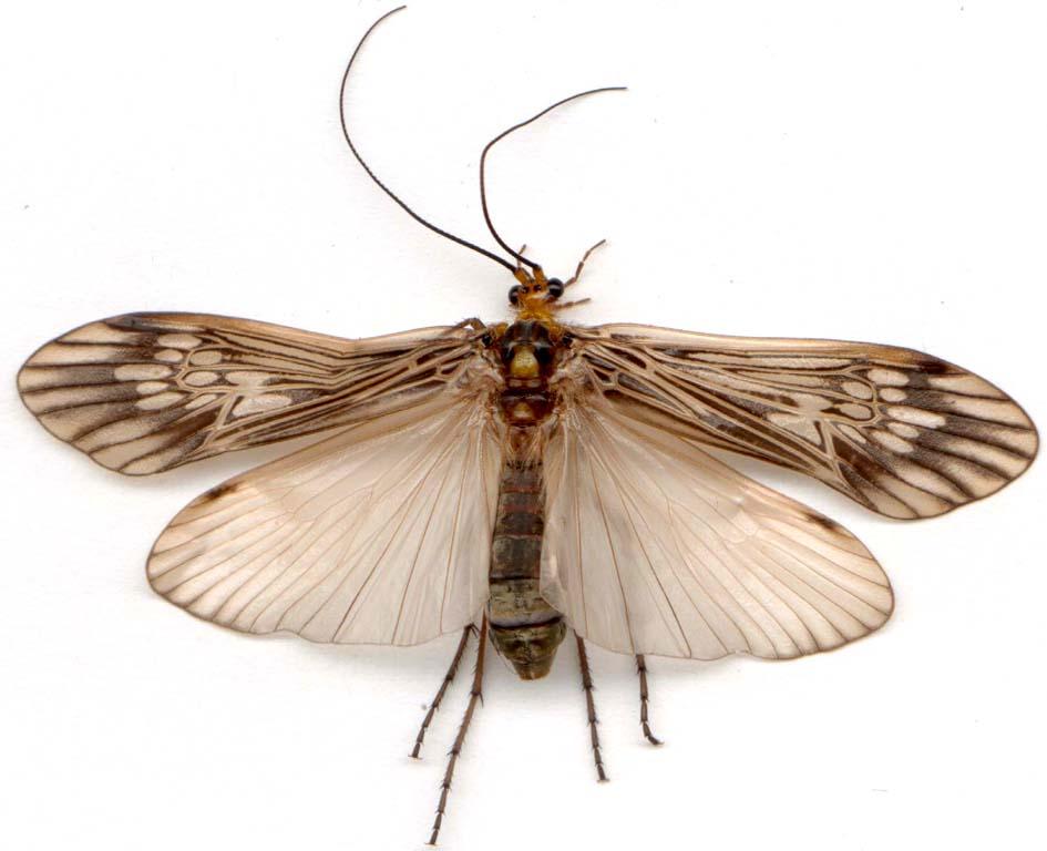 trichoptera041